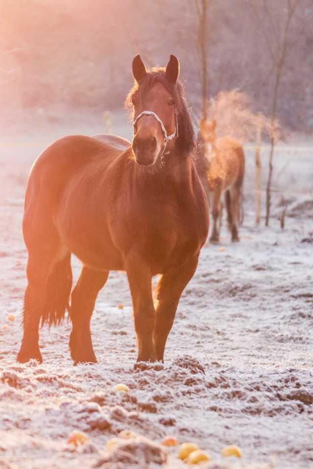 Međimurski konj zimi